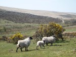 Dartmoor sheep